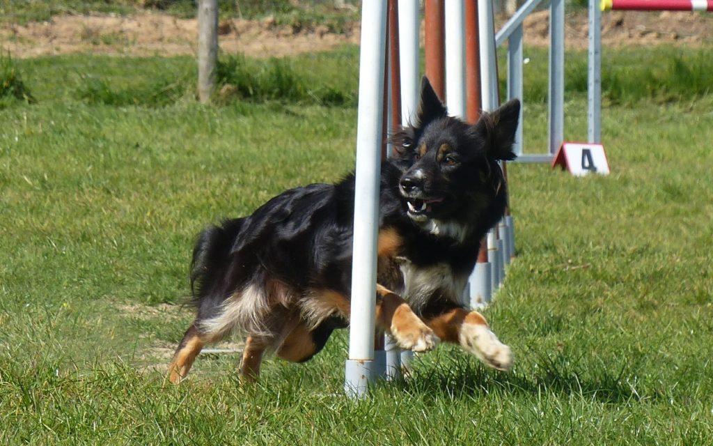 CENTRE CANIN DE ST GILLES Education Canine Rennes Agility – 11 108