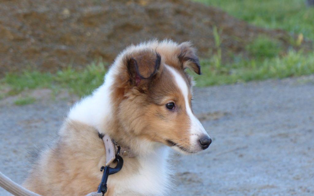 CENTRE CANIN DE ST GILLES Education Canine Rennes Ecole Du Chiot – 8 127